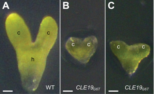 Embryo culture in vitro did not rescue the defective cotyledon phenotype in embryos excised from pCLE19:CLE19G6T:tCLE19 transgenic plants. Note the abnormal cotyledon establishment in embryos from pCLE19:CLE19G6T:tCLE19 transgenic plants (B, C), as compared with the control embryo from the wild type (A). c, cotyledon; h, hypocotyl. Scale bars=50 μm.