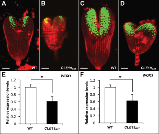Expression of cotyledon-specific genes in arrested embryos from pCLE19:CLE19G6T:tCLE19 transgenic plants. (A–D) Confocal microscopic examinations of embryos excised from wild-type plants (WT) carrying pWOX1:SV40-3XGFP (A) or pWOX3:SV40-3XGFP marker constructs (C), or from plants carrying pWOX1:SV40-3XGFP/pCLE19:CLE19G6T:tCLE19 (B) or pWOX3:SV40-3XGFP/pCLE19:CLE19G6T:tCLE19 double constructs (D). Note that similar GFP expression, though with a reduced level, was observed in cotyledon primordia of arrested embryos from pCLE19:CLE19G6T:tCLE19 transgenic plants (CLE19G6T), as compared with embryos from plants carrying only marker constructs (A, C). Scale bars=50 μm. (E, F) qRT-PCR showed reduced levels of WOX1 (E) and WOX3 expression (F) in ovules from the wild type (WT) and pCLE19:CLE19G6T:tCLE19 transgenic plants (CLE19G6T). Data represent the mean ±SD from three independently extracted RNA samples. Asterisks indicate significant differences from the wild type (P < 0.01 by Student's t-test).