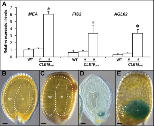 Prolonged and elevated expression of early endosperm-specific genes in the endosperm of pCLE19:CLE19G6T:tCLE19 transgenic plants. (A) qRT-PCR analyses showed elevated expression of MEA, FIS2, and AGL62 in those abnormal ovules (a) from a pCLE19:CLE19G6T:tCLE19 transgenic plant (CLE19G6T), as compared with those normal ovules (n) from the same plant, and ovules from the wild type (WT). All ovules were analysed at 12 DAP. Data represent the mean ±SD of three independently extracted RNA samples. (B–E) GUS expression in seeds from the wild type (B) and pCLE19:CLE19G6T:tCLE19 transgenic plants carrying a pMEA:GUS reporter construct, examined at 12 DAP (C–E). Note that aborted seeds in (D) and (E) showed prolonged GUS expression in chalarzal endosperm (marked by asterisks), but not in the normal seed (C) in the same plant. Embryos are traced with dotted lines. c, cotyledon; hy, hypocotyl; h, heart-shaped stage embryo; t, torpedo-stage embryo. Asterisks indicate significant differences from the wild-type (P<0.01 by Student's t-test). Scale bars in B–E=50 μm.