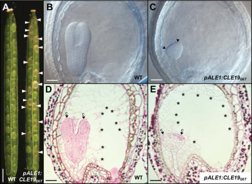 Endosperm-specific expression of CLE19G6T led to defective cotyledon establishment in embryos. (A) Seed abortions (indicated by arrowheads) observed in the pALE1:CLE19G6T transgenic plant, as compared with the wild type (WT). (B and C) Defected cotyledon establishment (indicated by arrowheads) in embryos from pALE1:CLE19G6T transgenic plants (C), as compared with the wild type (B) at the same stage (7 DAP). (D and E) Cytohistological examination of ovules from the wild type (D) and pALE1:CLE19G6T transgenic plants (E), showing establishment of the defective cotyledon (E, indicated by arrowheads). Note the cellularized endosperms (indicated by asterisks). c, cotyledon primordia. Scale bars: in A=1mm; in B–E=100 μm.
