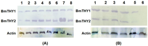 The Spatiotemporal expression profiles of BmTHYs.Western blot analysis of the expression levels of BmTHYs in different developmental stage (A) and in different tissues and organs (B). The mass of each lane's total protein were 50 μg, and the sample were equalized. (A) Lane 1: egg; Lane 2: 1st instar; Lane 3: 2nd instar; Lane 4: 3rd instar; Lane 5: 4th instar; Lane 6: 5th instar; Lane 7: pupae; Lane 8: moth. (B) Lane 1: midgut; Lane 2: testis; Lane 3: ovary; Lane 4: head; Lane 5: fat body; Lane 6: hemolymph.