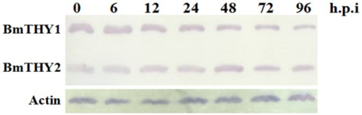 The expression pattern of BmTHYs in BmN cells infected with BmNPV.The BmN cells were infected with BmNPV and samples were collected at different hours to examine the expression of BmTHYs. The mass of each lane's total protein were 30 μg, and the sample were equalized.