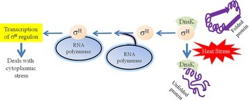 Function of DnaK in association with σH in response to heat stress. Unfolded proteins caused by heat stress are sensed by the heat shock chaperon DnaK which keeps attached to σH. Upon protein unfolding, DnaK releases σH which in turn binds to RNA polymerase. The σH—RNA polymerase complex transcribes genes whose products are essential to respond against the cytoplasmic stress. This is to be mentioned that the transcription of the σH (encoded by the rpoH gene) is induced at elevated temperature via the action of σE (encoded by the rpoE gene)