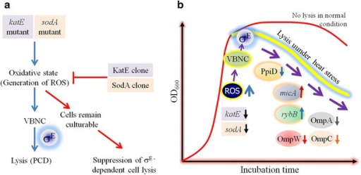 Generation of heat shock and the consequent mechanism of σE-dependent cell lysis. a Functional analysis of sodA and katE genes, involved in the evolution of reactive oxygen species (ROS). Mutation in sodA (encoding superoxide dismutase) and katE (encoding catalase) induces the generation of ROS which may render the viable and culturable cells to be damaged or into the VBNC state, which in turn undergoes the σE-directed lysis. Thus the defective cells are removed and only the culturable cells sustain thereby suggesting the phenomenon of programmed cell death (PCD). The idea is supported by overexpressing the sodA (SodA clone) and katE genes (KatE clone) whereby the ROS accumulation is considerably suppressed with a concomitant downregulation of the rpoE gene (encoding σE). b Possible mechanism of σE-dependent cell lysis whereby the role of ROS has been shown in the formation of the VBNC cells which have further undergone the lysis process with a concominant increased downregulation of peptidyl prolyl isomerise (PpiD) and the simultaneous upregulation of the micA and rybB genes encoding small RNAs. The repression of the expression of the outer membrane porins (OMPs) have also been detected which might be responsible for the impairment of the cell membrane integrity thereby rendering the cells to be lyzed