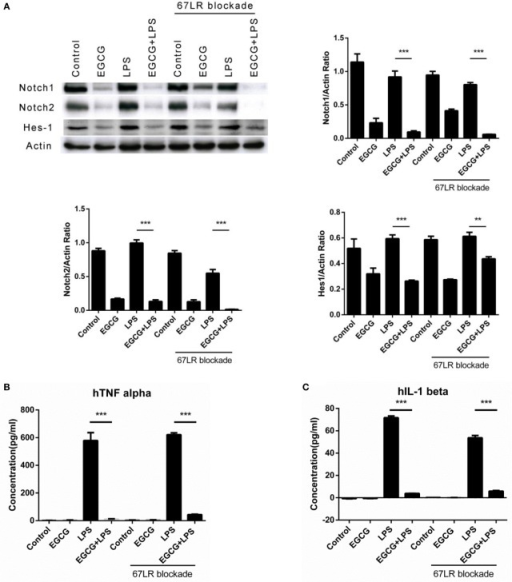 Notch is a new target of (−)-epigallocatechin gallate (EGCG) independent of the 67-kDa laminin receptor (67LR). THP-1-derived macrophages were preincubated with 67LR antibody (5 μg/mL) for 1 h and then treated with EGCG (50 μg/mL) for 30 min. Cell lysates were probed with Notch1/2 and hairy and enhancer of split-1 (Hes1). (A) THP-1-derived macrophages were pretreated with EGCG (50 μg/mL) for 30 min before exposure to lipopolysaccharide (LPS) (200 EU/mL) for 3 h. Cell lysates were probed with Notch1/2 and Hes1 (A). Expression of the inflammatory cytokines in THP-1-derived macrophages in the culture medium was measured by enzyme-linked immunosorbent assay (B,C) and RayBio C-Series human inflammation antibody array (D). Chips were scanned and analyzed (E). (F) Interaction between EGCG and NRR1 was measured on an Octet Red96 system with association and dissociation for 300 s, respectively. The concentration of EGCG used was a double dilution starting from 40 μM. Kinetic parameters and affinities were calculated from a non-linear global fit. Data are represented as mean ± SD (n = 3). Differences between the two groups were assessed by two-way ANOVA using GraphPad. Representatives of three independent experiments with similar results are shown. Results are represented as mean ± SD (*p < 0.05, **p < 0.01, and ***p < 0.001).