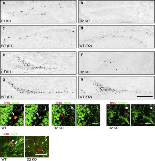 Adult hippocampus and OB of D2 KO mice deficient in neurogenesis. (a–d) Extensive labeling in hippocampal DG in controls: wild-type (WT) from D1 KO line (c), WT from D2 KO line (d) and D1 KO mouse (a). Lack of labeling in DG of D2 KO hippocampus (b). (e–h) Similar phenomenon in OB. (i and j) Colocalization (arrows) of BrdU (red) and NeuN (green) in WT hippocampus. (k and l) BrdU-positive nuclei in D2 KO hippocampus never colocalize with NeuN. (o) Similar colocalization (arrowheads indicating green rings) of BrdU (red) and Tuj-1 (green) with no colocalization in D2 KO (p). (m and n) Colabeling of BrdU with glial fibrillary acidic protein (GFAP, green) in D2 KO hippocampus. Confocal images: single-plane (i–l and o and p) and composed (m and n). Bars: (a–h) 200 μm; (i–l, m and n, and o and p) 20 μm.