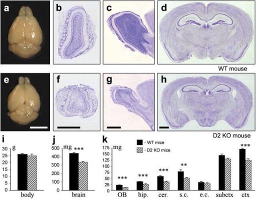 WT and cyclin D2 KO brains differ in weight and structure. (a and e) Gross morphology. (b–d and f–h) Nissl staining. (i) WT and cyclin D2 KO animals do not differ substantially in body weight, whereas the brains of the latter are significantly smaller (a and e, d, h, and j). The differences concern OB, hippocampus (hip.), cerebellum (cer.), sensory cortex (s.c.), cortex altogether (ctx), and, to a lesser extent, subcortical structures (subctx) and amygdala/enthorinal cortex (e.c.). The results are derived from 3-mo-old males (n = 6). ***, P < 0.0001; **, P < 0.01. Bars: (a and e) 5 mm; (b and f, c and g, and d and h) 1 mm.