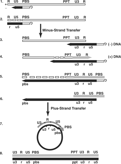 Schematic diagram of the events in reverse transcription. Step 1. Reverse transcription is initiated by a cellular tRNA primer (, in the case of HIV-1), following annealing of the 3′ 18 nt of the tRNA to the 18-nt PBS near the 5′ end of the genome. RT catalyzes synthesis of (−) SSDNA, which contains copies of the R sequence and the unique 5′ genomic sequence (U5). Step 2. As the primer is extended, the RNase H activity of RT degrades the genomic RNA sequences that have been reverse transcribed. Step 3. (−) SSDNA is transferred to the 3′ end of vRNA (minus-strand transfer). Step 4. Elongation of minus-strand DNA and RNase H degradation continue. Plus-strand synthesis is initiated by the 15-nt PPT immediately upstream of the unique 3′ genomic sequence (U3). Step 5. RT copies the u3, u5 and r regions in minus-strand DNA, as well as the 3′ 18 nt of the tRNA primer, thereby reconstituting the PBS. The product formed is termed (+) SSDNA. Step 6. RNase H removal of the tRNA and PPT primers from minus- and plus-strand DNAs, respectively. Step 7. Plus-strand transfer, facilitated by annealing of the complementary PBS sequences at the 3′ ends of (+) SSDNA and minus-strand DNA, is followed by circularization of the two DNA strands and displacement synthesis. Step 8. Minus- and plus-strand DNAs are elongated, resulting in a linear dsDNA with a long terminal repeat (LTR) at each end. vRNA is shown by an open rectangle and minus-and plus-strand DNAs are shown by black and gray rectangles, respectively. The tRNA primer is represented by a short open rectangle (3′ 18 nt of the tRNA) attached to a 'clover-leaf' (remaining tRNA bases). Minus- and plus-strand sequences are depicted in lower and upper case, respectively. The very short white rectangles represent fragments produced by RNase H cleavage of genomic RNA. Adapted from reference (43) with permission from Elsevier.