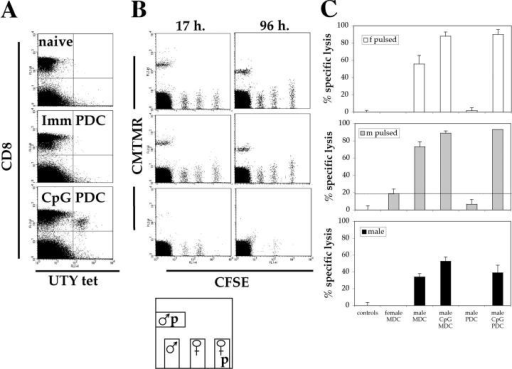 Intravenous injection of CpG-matured male PDCs induces functional CTL responses. C57BL/6 mice (n = 5) were primed as described in Fig. 1 A. (A) CTL responses were assessed in the blood by ex vivo FACS® analysis using UTY246–254-H-2-Db tetramers 7 d after priming. One representative animal per group is shown. (B) 10 d after priming, cytolytic activity of the UTY246–254-specific cells was assessed in vivo against female syngeneic splenocytes unpulsed or peptide pulsed (CFSE labeled), male splenocytes unpulsed (CFSE labeled), or peptide pulsed (5-(and 6)-([{4-chloromethyl}benzoyl]amino) tetramethylrhodamine labeled) as summarized in the cartoon. Correlation between tetramer staining (A) and lysis of CFSE-labeled target cells at 17 and 96 h (B) is shown. The mouse primed by CpG-PDCs has a total of 2% UTY246–254-CTL (as a percentage of CD8 cells). (C) Analysis of mean antigen-specific lysis 17 h after target cell injection, calculated as described in Materials and Methods. Cells used for priming are shown on the x axis. Each panel depicts specific lysis of the labeled targets (top left).