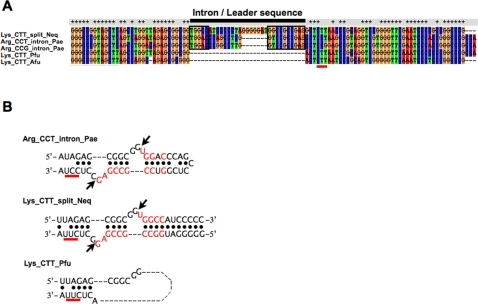 Comparison of the 3 types of tRNA sequences.(A) Full nucleotide sequences of pre-tRNAs (1 split tRNALys [Neq] and 2 intronic tRNAArgs [Pae]) and 2 nonintronic tRNALys (Pfu and Afu) were aligned. Black bar marks the intron of the intronic tRNAs and the leader sequences of the split tRNAs, which are inserted at tRNA nucleotide position 32/33. Red bar marks the anticodon. (B) Comparison of the secondary structures and nucleotide sequences around the exon–intron boundary of the 3 types of tRNAs. Nucleotides that are identical between leader sequence and intron are shown in red. Red bar marks the anticodon.