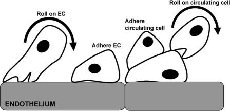 In the ABM of hASC trafficking during ischemia, circulating cells were able to undergo complex adhesive interactions under flow.These included secondary capture: clumping, firmly adhering other circulating cells, and rolling on circulating cells. Rolling along and firm adhesion to the endothelium is present in this model, as well. All of these interactions are of potential importance.