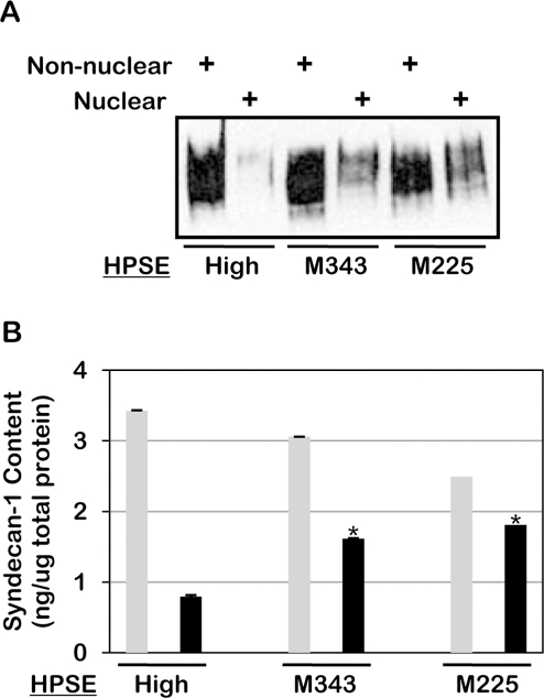Heparanase enzymatic activity is required for reduction of syndecan-1 levels in the nucleus.Nuclear and non-nuclear fractions were prepared from CAG cells expressing high levels of wild-type heparanase (HPSE-high) or heparanase mutated at either amino acid 343 (M343) or amino acid 225 (M225) which renders them enzymatically inactive. All cells were prepared using pIRES2 vectors for transfections. Fractions were analyzed for syndecan-1 levels by A) western blotting and B) ELISA. Grey bars = non-nuclear fraction; Black bars = nuclear fraction. Error bars represent standard error of the mean. *, P<0.01 vs. nuclear syndecan-1 in HPSE high cells.