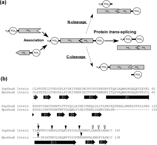 Protein trans-splicing and locations of the new split sites.(a) Schematic representation of the protein trans-splicing process and two possible side reactions of N- and C-cleavage. Two fragments of the protein of interest (POI) can be ligated by protein trans-splicing reaction. (b) Sequence alignment of SspDnaE and NpuDnaE inteins. The locations of the experimentally tested split sites of SspDnaE and NpuDnaE inteins are indicated by inverse triangles on the top of the primary sequences. The asterisks above inverse triangles indicate the naturally occurring split site. Filled triangles indicate the split sites, where the split inteins retained protein trans-splicing activity. Open triangles indicate the split sites, where no protein trans-splicing activity could be detected. The location of the b-strands observed in the crystal structures of SspDnaE intein (PDB code 1ZDE) [35] and SspDnaB mini-intein (1MI8) [36] are indicated at the bottom of the sequences. The numbering for b-strands is adapted from SspDnaB mini-intein [36].