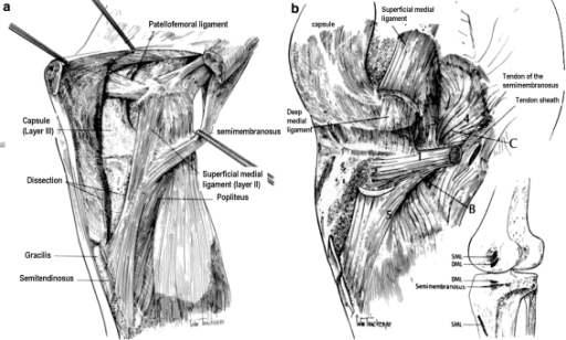 (a) The superficial medial collateral ligament lies in