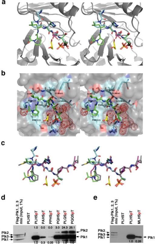 The nature of PBD binding and specificity. (a) Superposition of the phosphopeptide-binding pockets of PBDPL, PBDPP, PBDS+G, and PBDS. PBD is drawn in grey. PLHSpT is in green and its associated glycerol molecule is in yellow. PPHSpT is drawn in cyan. The glycerol molecule (two half-occupancy conformations at the Ser-1 position) of PBDS+G is drawn in magenta. The two sulfate anions of PBDS+G and PBDS are drawn with the sulfur atoms in black and oxygen atoms in red. The differences in the exact positions of sulfate and phosphate groups could be due to the fact that the sulfate is a free anion, whereas the phosphate is covalently linked to the phosphopeptide. PDB ID for PBDPL, 3HIK; PDB ID for PBDPP, 3C5L; PDB ID for PBDS+G and PBDS, 3HIH. (b) The PBD residues involved in binding of PLHSpT are labeled and shown in cyan. All water molecules that form an interface between the phosphopeptide and PBD are drawn in red mesh. (c) Superposition of PLHSpT (green), PPHSpT (cyan), MQSpTPL (magenta), and PMQSpTPL (grey). (d,e) The mixture of HeLa lysates expressing the kinase-inactive Flag-Plk1(K82M), Flag-Plk2(K108M), or Flag-Plk3(K52R) was subjected to pull-down assays as in Fig. 2a with the indicated 5-mer wild-type (PLHSpT) and mutants cross-linked to the beads. The respective non-phospho-T78 peptide (PLHST) was used as a control. The numbers at the top of the blot indicate the relative efficiency of Plk2 precipitation, whereas the numbers at the bottom denote the relative efficiency of Plk1 precipitation. (f) Illustration depicting the nature of the interactions between the SpT-containing peptides and the Plk1 PBD. Alignment of minimal p-T78 peptides (PLHST and LHSTA) and synthetic optimal peptides (PMQSTPL and MQSTPL) showed that, in addition to the critical SpT motif, the N-terminal Pro-4 and Met-3 residues are important to stabilize the interactions by docking into a hydrophobic core surrounded by the Trp414, Phe535 and Arg516 residues in Plk1 PBD. The His-2 residue is important for Plk1 specificity since substitution of Gln for His enhances Plk2 binding. The Ala+1 or Pro+1 residue is central for guiding a priming kinase to phosphorylate the Thr residue.