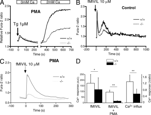 Calcium handling in VSOP/Hv1−/− neutrophils. Changes in cytosolic Ca2+ were measured with fura-2. (A) SOCE in blood neutrophils exposed to PMA for 20 min to activate the oxidase. Cells were deprived of Ca2+, treated with 1 µM thapsigargin to deplete Ca2+ stores, and exposed to 2 mM Ca2+ to reveal SOCE. Traces are means of 9 WT and 14 VSOP/Hv1−/− recordings (>10 cells each) from five WT and three VSOP/Hv1−/− mice. (B and C) Calcium elevations evoked by 10 µM fMIVIL in bone marrow neutrophils pretreated or not with PMA. Traces in B are means of 19 and 64 cells measured in five and seven independent experiments from four WT and four VSOP/Hv1−/− mice. Traces in C are means of four separate recordings (>10 cells each) from two WT and two VSOP/Hv1−/− mice. The chemotactic peptide was added at t = 0 (arrows). (D) Mean changes in cytosolic Ca2+ evoked by fMIVIL (area under the curve, AUC) and by Ca2+ readmission (Δ ratio amplitude). Data are means ± SD of the experiments in A–C. **, P < 0.001; *, P < 0.05, unpaired Student's t test.