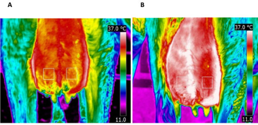 Thermal images of the caudal part of the udder of a primiparous cow after challenge with E. coli strain P4, serotype O32:H37 (1 × 104 cfu) at post infusion hour (PIH) 3 (A) and PIH 12 (B) during early lactation. Two fixed 25 × 25 pixel areas above the teats used to extract the data at various time points following intramammary infection. Left quarters were infected at PIH 0 and right quarters were control quarters. There was a significant increase for udder skin temperature between PIH 0 and PIH 12 in both infected (P = 0.02) and control quarters (P = 0.009).