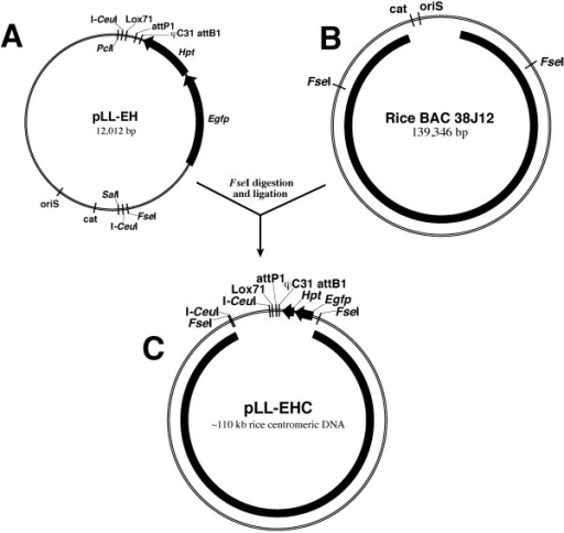 Scheme for the development of the pLL-EHC vector containing a centromeric DNA fragment for use as the backbone in AC constructs. (A) Structure of the pLL-EH vector. A 6,212-bp fragment between PciI and SalI was isolated from BAC vector pBeloBAC11. (B) Rice BAC clone 38J12 derived from the centromere of chromosome 8 [14]. (C) Ligation of FseI-digested pLL-EH and BAC 38J12 resulting in the vector pLL-EHC.