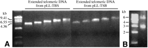 Generation of back-to-back telomeric DNA fragments. (A) Size-fractionated telomeric DNA fragments ranging in size from 4 to 10-kb derived from pLL-TBS and pLL-TSB, respectively. (B) An example of a 6-kb back-to-back telomeric DNA combined from two 3-kb telomeric DNA samples derived from pLL-TBS and pLL-TSB, respectively. The 3-kb band is the non-recombined telomeric DNA.