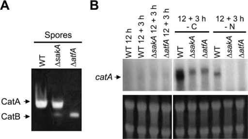Conidia from ΔatfA mutant lack CatA catalase activity; sakA and atfA genes are required for catA mRNA accumulation in response to nutrient starvation.A. Thirty micrograms of protein extracts prepared from conidiospores of strains CLK43 (WT), TOL1 (ΔsakA), TFLΔatfA-02 (ΔatfA) were separated on native polyacrylamide gels to determine catalase activity as described previously (Navarro et al., 1996).B. Mycelia from the same strains was grown for 12 h and shifted to the indicated nutrient stress condition for 3 h. As reported before, changes in catA mRNA size are observed under determined stress conditions (Navarro and Aguirre, 1998). Samples were collected to extract total RNA and used for Northern hybridization using a catA-specific probe. Bottom panel shows ribosomal RNA as loading controls.