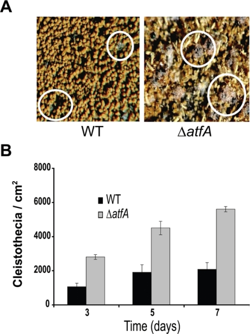 The deletion of atfA causes derepression of sexual development.A. CLK43 (WT) and TFLΔatfA-02 (ΔatfA) strains were induced to undergo sexual development in confluent plates as previously reported (Kawasaki et al., 2002). Pictures were taken from confluent cultures after 10 days of induction. Under these conditions the ΔatfA mutant produced more Hülle cells and cleistothecia (black spheres; some in circles) than the WT.B. Strains CLK43 (WT) or TFLΔatfA-02 (ΔatfA) were induced to undergo sexual development as (A) and samples were taken every 24 h (see Experimental procedures). The total number of cleistothecia per fixed area was counted under a dissection microscope and used to calculate cleistothecia cm−2 as reported (Kawasaki et al., 2002). Data are mean values from three independent experiments; bars indicate standard deviation.