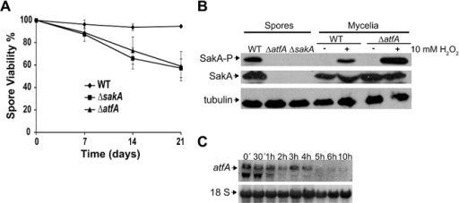 Asexual spores from ΔsakA and ΔatfA mutants show decreasing viability and lack SakA.A. Conidia from strains CLK43 (WT), TOL1 (ΔsakA) and TFLΔatfA-02 (ΔatfA) were collected from 5-day plates, counted and plated immediately (time 0) or maintained in water at 4°C for up to 21 days. At indicated time points, aliquots were diluted and used to inoculate supplemented MM plates, which were incubated at 37°C for 2 days and resulting colonies were counted. Data are mean values from three independent experiments; bars indicate standard deviation.B. Freshly collected conidia or mycelial samples from strains indicated in (A) were frozen with liquid nitrogen and used to prepare total protein extracts, followed by immunoblotting (50 µg), with anti-Hog1 and anti-Phospho-p38 or anti-tubulin antibodies as reported (Kawasaki et al., 2002).C. Total RNA isolated from intact or germinated conidia from strain CLK43 (WT) was used for northern hybridization with probes against atfA or the 18S ribosomal RNA gene as a loading control.
