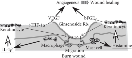 The proposed mechanisms of the enhancing effects of ginsenoside Rb1 on burn wound healing.