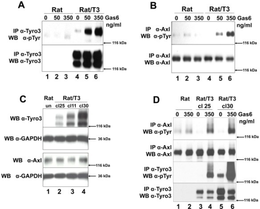 Tyro3 increases Gas6-induced Axl phosphorylation.Rat2 (Rat lanes 1–3) and Rat2/T3V5 cells (Rat/T3, lanes 4–6) were treated with 0, 50, 350 ng/ml Gas6 for 20 min. Detergent cell lysates were prepared and normalized for protein concentration. The samples were divided in two for Tyro3 (panel A) and Axl (panel B) immunoprecipitations (IP). This was followed by SDS-PAGE using 8% gels followed and Western blot analysis. The membranes were probed with anti-phosphotyrosine (α-pTyr) antibodies (PY20 and P99 mixture 1∶3,500) (top, panels A and B). The membranes were stripped and reprobed with α-Tyro3 serum 5424 (1∶3,500) (A, bottom panel) or affinity purified rabbit α-Axl (1∶3,500) (B, bottom panel). These blots are representative of 4 experiments. To determine whether Tyro3 expression affects Axl levels in Rat2 cells (panel C), detergent cell extracts were prepared from Rat2 cells (lane 1), and independently derived stably transfected Rat2/T3V5 cell lines (clone (cl) 25, lane 2; clone 11, lane 3; clone 30, lane 4). SDS-PAGE using 4–20% gels followed by Western blot analysis was performed on these extracts. The membranes were cut at the level of the 66 kDa marker and the top portion was probed with rabbit α-Tyro3 (5424 serum 1∶3,500) or rabbit α-Axl (1∶3,500). The bottom portion of the membranes were blotted with α-GAPDH (1∶500). These blots are representative of 5 experiments. To determine if the levels of Axl phosphorylation depended on the levels of Tyro3 expressed (panel D) Rat2 cells (lanes 1 and 2) and Rat2/T3V5 cell lines cl25 (lanes 3 and 4) and cl30 (lanes 5 and 6) were activated with media only (0) or 350 ng/ml of Gas6 for 10 min. Detergent cell lysates were prepared and normalized for protein concentration. The samples were divided in two for Tyro3 and Axl immunoprecipitations (IP). SDS-PAGE using 8% gels followed by Western blot analysis was performed. The membranes were probed with anti-phosphotyrosine (α-pTyr) antibodies (PY20 and P99 mixture 1∶3,500) (top and third panels). An aliquot of the remaining Axl IPs were reloaded and probed with affinity purified rabbit α-Axl (1∶3,500) (second panel from the top). The membrane corresponding to Tyro3 IP's was stripped and reprobed with α-Tyro3 serum 5424 (1∶3,500) (bottom panel). These blots are representative of 6 experiments.
