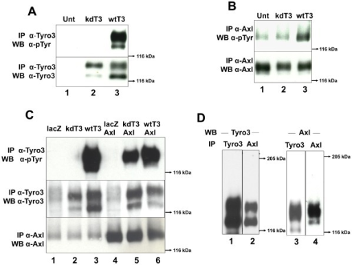 Axl cross-phosphorylates Tyro3 and both receptors co-immunoprecipitate.Wild-type and kinase dead forms of Tyro3 were tested for their ability to auto-phosphorylate (panel A) and phosphorylate Axl (panel B). Rat2 cells were transiently transfected kinase dead (kd)Tyro3 (kdT3, lane 2) or with wild-type (wt) Tyro3 (wtT3, lane 3). The cells were activated with 350 ng/ml of Gas6 for 20 min. After protein normalization the extracts were divided in two, for Tyro3 immunoprecipitation (IP) (panel A) and for Axl IP (panel B). After SDS-PAGE using 8% gels and Western blotting, the membranes were probed with anti-phosphotyrosine (α-pTyr) antibodies (PY20 and P99 mixture 1∶3,500) (top, panels A and B). The membranes were stripped and reblotted with α-Tyro3 serum 5424 (1∶3,500, α-Tyro3) (panel A bottom) or re-probed with α-Axl (1∶3,500) (panel B bottom). These blots (panels A and B) are representative of 4 experiments. To determine if Axl can induce Tyro3 phosphorylation (panel C) Rat2 cells were transiently transfected with vectors encoding lacz (lane 1), kdTyro3 (kdT3, lane 2), wtTyro3 (wtT3, lane 3) or doubly transfected with lacz/Axl (lane 4), kdTyro3/Axl (kdT3/Axl,lane 5) and wtTyro3/Axl (wtT3/Axl, lane 6).The cells were activated with 350 ng/ml of Gas6 for 20 min. After protein normalization the extracts were divided in two, for Tyro3 immunoprecipitation (IP) (top and center panels) and for Axl IP (bottom panel). After SDS-PAGE in 8% gels and transfer, the membranes were probed with anti-phosphotyrosine (α-pTyr) (PY20 and P99 mixture 1∶3,500) antibodies (top panel), and rabbit α-Axl (bottom panel). The membrane probed with α-pTyr (Tyro3 IPs) was re-probed with α-Tyro3 (center panel). These blots are representative of 5 experiments. To determine whether Tyro3 and Axl co-immunoprecipitate, (panel D) Rat2/T3V5 cells were activated with 350 ng/ml Gas6 for 10 min. Detergent extracts were normalized and divided in two, for Tyro3 immunoprecipitation (IP) using α-FN2 Tyro3 antibodies (IP Tyro3, lanes 1 and 3) and for Axl IP using mouse monocolonal α-Axl antibodies (IP Axl, lanes 2 and 4). The samples were separated by SDS-PAGE using 6% gels and blotted with α-Tyro3 serum 5424 (1∶3,500) (lanes 1 and 2) or rabbit α-Axl antibodies (1∶3,500) (lanes 3 and 4). These blots are representative of 4 experiments.