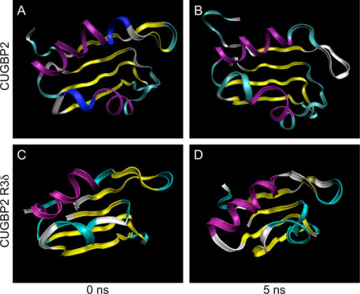 Structure transitions of the CUGBP2 and R3δ isoforms. (A) Initial structure of the CUGBP2 RRM3. The structure was predicted using CUGBP1 RRM3 (2rq4a) because the amino acid sequences of RRM3 of CUGBP1 and 2 are almost identical. (B) MD simulation of the CUGBP2 RRM3. MD simulation was performed for 5 ns. (C) Initial structure of the R3δ isoform RRM3. The RRM3 and the linker residues of the R3δ isoform were analyzed by comparative modeling by SFAS in PBDj. (D) MD simulation of the R3δ isoform. The result of comparative modeling was used for MD simulation for 5 ns to analyze the folding and stability of the predicted structure.