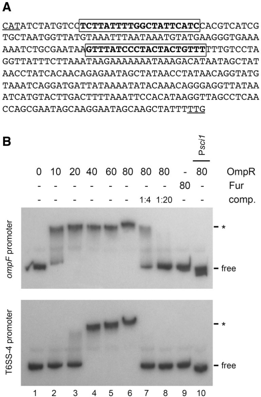 OmpR binds to the promoter region of T6SS-4.(A) Intergenic sequence upstream the first gene of the T6SS-4 operon. The TTG putative initiation codon is underlined, as the ATG initiation codon of the divergent gene upstream T6SS-4. The framed sequences in bold letters correspond to putative OmpR binding sites identified by in silico analyses using Virtual Footprint. A third OmpR binding site was experimentally identified upstream this intergenic region [63]. (B) Electrophoretic mobility shift assays of the Y. pseudotuberculosis ompF (upper panel) or T6SS-4 (lower panel) promoters using phosphorylated purified OmpR protein (lane 1, no protein; lane 2, 10 nM; lane 3, 20 nM; lane 4, 40 nM; lane 5, 60 nM; lane 6, 80 nM). Lanes 7 and 8: competition experiments with unlabelled T6SS-4 (upper panel) or ompF (lower panel) promoter PCR fragments at a promoter:competitor 1∶4 (lane 7) or 1∶20 (lane 8) ratio, in presence of 80 nM phosphorylated purified OmpR protein. Controls include incubation with the purified ferric uptake regulator Fur (lane 9, 80 nM) or incubation of the OmpR-independent enteroaggregative E. coli sci-1 promoter PCR fragment (Psci1) with phosphorylated purified OmpR (lane 10, 80 nM). The positions of the free probes and of the shift fragments (*) are indicated.