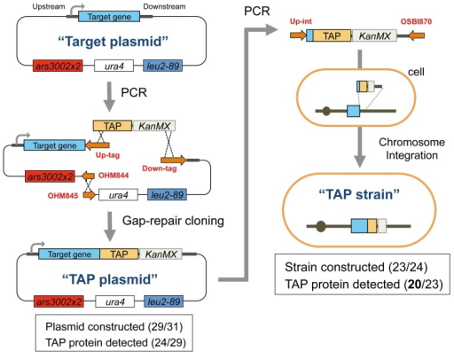 "Procedures for TAP plasmid and TAP strain construction.We first constructed a ""TAP plasmid"" from a ""Target plasmid"" containing one of the target cdc genes [2]. This TAP plasmid was then used as a PCR template for the chromosomal integration of the TAP construct to obtain the ""TAP strain."" Red letters indicate the PCR primers, which are listed in Tables S6, S7, S8, and S9. The details for construction are described in the Strains and plasmids section of Methods. The numbers of successfully constructed plasmids and TAP protein detection are also shown."