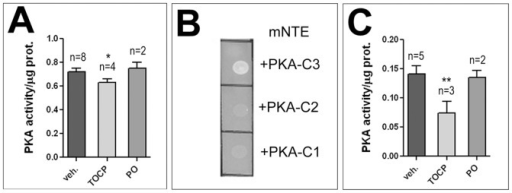 TOCP treatment reduces PKA activity.A. Flies treated with 16 mg/ml TOCP reveal a significant reduction in PKA activity in head extracts whereas flies treated with Paraoxon (PO; 0.2 mg/ml) show no change in PKA activity. B. Mouse NTE binds fly PKA-C3 in Two-Hybrid assays, whereas it does not interact with the other two known fly catalytic subunits, PKA-C2 and PKA-C1. C. TOCP treatment (14 µg/ml) reduces PKA activity in cultured rat hippocampal neurons whereas exposure to Paraoxon (PO; 4 µg/ml) does not. n = is number of independent PKA assays. PKA activity is given as the ratio of the luminosity value of phosphorylated to unphosphorylated kemptide peptide per µg protein. Student's t-tests were used to compare treated and untreated flies or hippocampal neurons. SEMs are indicated. *p<0.05, **p<0.01. (The variances are not significantly different).