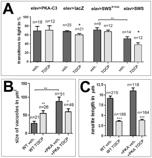 PKA-C3 overexpression protects against TOCP-induced degeneration and behavioral deficits.A. Flies expressing additional PKA-C3 in neurons via elav-GAL4 do not show the TOCP-induced reduction in performance seen in elav>lacZ control flies. Also flies expressing the PKA-C3 binding deficient SWSR133A construct are protected against TOCP-induced behavioral deficits. In addition, these flies do not show the reduction in performance observed in untreated flies overexpressing the wild type SWS construct (elav>SWS). B. Although PKA-C3 overexpressing flies show a significant increase in vacuole formation when untreated, TOCP treatment does not enhance this phenotype, but significantly reduces vacuole formation. C. PKA-C3 overexpression has no effect on the neurite shortening observed after TOCP treatment of primary neurons. n = is number of groups tested with 10–20 female flies each in A, n = number of cells or head sections analyzed in B and C. Student's t-tests were used to compare treated and untreated flies and to compare untreated SWS and SWSR133A overexpressing flies. A student's t-test was also used to compare vacuole size in untreated PKA-C3 overexpresing flies with controls in B. All flies used in the fast phototaxis assays were 14 d old females. SEMs are indicated in all graphs. *p<0.05, **p<0.01, ***p<0.001. (The variances were not significantly different in the tests done to compare vacuole size and behavioral deficits, but were different between treated and untreated cells: p<0.001).