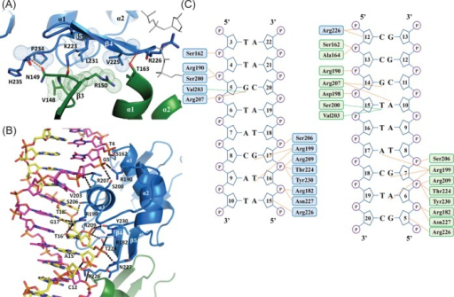 Intermolecular interactions in the kpRstA DBD/DNA-23 complex. (A) Protein–protein interactions between the upstream (blue) and downstream (green) DBDs. Hydrogen bonds and hydrophobic interactions are shown in orange dashes and space-fill dots, respectively. (B) Interactions between the upstream DBD protomer and DNA-23. The coding and template strands are colored magenta and yellow, respectively. (C) Schematic of the interactions between the DBDs and DNA-23. The upstream and downstream DBDs are represented by blue and green colors, respectively. Orange dots represent hydrogen bonds and salt bridges, and green dots represent van der Waals interactions. Residues involved in nonspecific interactions are located at helices α1 (Ser162), α2 (Arg182, Arg190), α3 (Ser200, Ser206, Arg209), the C-terminal β-hairpin (Thr224, Asn226, Asn227) and β5 (Tyr230).