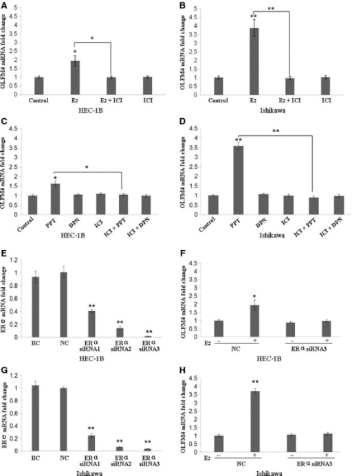 Expression of Olfactomedin 4 (OLFM4) is regulated by the oestrogen receptor-α (ERα) signalling in endometrial carcinoma cells. (A and B) Oestrogen antagonist ICI 182 780 attenuated the OLFM4 mRNA increase induced by E2. (C and D) ERα-specific agonist PPT, but not ERβ-specific agonist DPN, induced OLFM4 mRNA expression. (E–H) Knockdown of ERα with siRNA reduced E2-induced expression of OLFM4. *P < 0.05, **P < 0.001. E2, 17β-estradiol; ICI, ICI 182 780; PPT, 4′,4″,4‴-(4- propyl-[1H]-pyrazole-1,3,5-triyl)trisphenol; DPN, 2,3-bis-(4–ydroxyphenyl)–propionitrile; BC: blank control; NC: negative control (non-specific siRNA group).