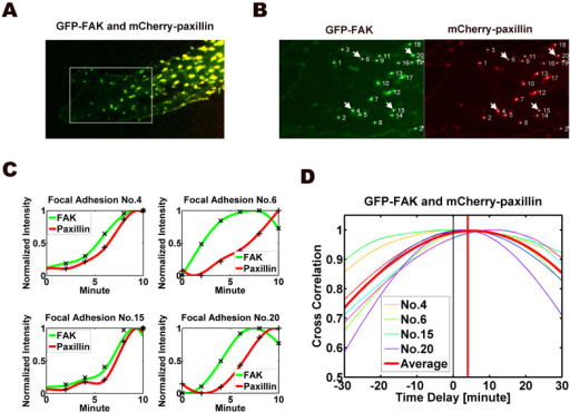 Image analysis of dynamics of FAK and paxillin at FAs at the protrusion front of an EC transfected with GFP-FAK and mCherry-paxillin.(A) Co-localization of FAK (green) and paxillin (red) yielded a yellow color. Boxed region was selected as regions of interest shown in B. (B) Identified FAs were labeled with numbers. The pairs of FAK (left) and paxillin (right) at the same FAs were selected for quantification analysis. (C) The time courses of normalized intensities (y-axis) of FAK (green) and paxillin (red) in four FAs (No. 4, 5, 16 and 20, arrowed and labeled in B) are plotted. (D) The values of the time correlation for all 22 FAs in the same cell (including the four FAs in C) are plotted as a function of time shift between FAK and paxillin at FAs. Also plotted is the mean curve for all 22 FAs in this cell. The results of time correlation analysis of this cell (22 individual FAs) yielded a time shift of 4.21 ± 0.87 min (mean ± s.e.m.). The value is significantly different from 0 (p < 0.001) indicates the time shift at dynamic FAs.