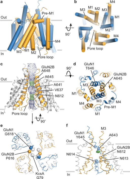 Transmembrane domain architecture, symmetry and coupling to LBDa, View of the TMD parallel to the membrane. GluN1 subunits are blue and the GluN2B subunits are orange. b, View of the TMD, along the pore axis, from the cytoplasmic side of the membrane. c, View of a solvent accessible surface carved along the pore axis using the computer program HOLE, parallel to the membrane, showing that the M3 bundle crossing near the extracellular side of the membrane and the entry into the selectivity filter region, from the central aqueous vestibule, form constrictions in the pore. The color coding for the dots that indicate the pore radius is 1.15 Å < green < 2.3 Å < blue. Because a number of side chains are not included in the structure, due to the moderate resolution of the diffraction data, the size of the pore is approximate. d, View of the extracellular ends of the M3 helices of the NMDA receptor. We have highlighted as spheres the α-carbon atoms for residues Thr 646 and Ala 645 in the GluN1/GluN2B structure, respectively. The distances between neighboring atoms are 6.2, 8.0, 5.4 and 7.1 Å, starting from the α-carbon of GluN2B on the left and going clockwise. e, View of the intracellular ends of the TMD of the NMDA receptor in comparison with KcsA. Here, the M2 helices of the NMDA receptor were superimposed on the corresponding helices in KcsA, showing the deviation from 4-fold symmetry. f, Side view of the TMD showing a positive electron density feature (green mesh) in the central vestibule, calculated using Fo-Fc coefficients and phases from the refined structure. The map is contoured at 2.8 σ. Data set 2 and Structure 2 were employed in all panels (Extended Data Table 2).