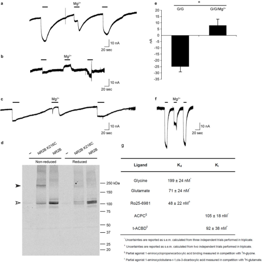 Electrophysiology and Western analysis of GluN1 Δ/GluN2B Δ receptor combinationsa, b, c, Representative TEVC currents recorded for oocytes expressing GluN1 Δ4 and  (a) GluN2B Δ1 or  (b, c) GluN2B Δ3 receptors in response to agonist (100µM glycine and 100 µM glutamate, bars, 20 sec) or agonist plus 1 mM MgCl2 (indicated) after soaking oocytes in the  (a, b) absence or  (c) presence of 5mM DTT. d, Western blot analysis of oocytes demonstrating spontaneously crosslinking cysteines (Lys216Cys) introduced at the GluN2B Δ3 intersubunit interface. Oocytes were soaked in the absence (left lanes) or presence of 5mM DTT (right lanes) before processing for Western analysis using an anti-GluN2B antibody. Filled and open triangles indicate positions of crosslinked and monomeric GluN2B, respectively. e, Graph of mean agonist-induced inward currents from four reduced oocytes expressing GluN1 Δ4 and GluN2B Δ3 in the absence (G/G, −25 ± −4 nA) or presence of 1mM MgCl2 (G/G/Mg2+, 8 ± 5 nA). Error bars represent s.e.m. The p value is <0.001 for the paired T-test (asterisk). f, Representative TEVC currents recorded in response to agonist (100µM glycine and 100 µM glutamate bars, 10 sec) or agonist plus 1 mM MgCl2 for oocytes expressing constructs similar to the GluN1 Δ2/GluN2B Δ2 receptor combination with the following exceptions: GluN1 subunit, Asp656 (wt), Gly636Arg and Lys741Asp; and GluN2B subunit, Glu654 (wt), Glu655 (wt), and Lys216 (wt). g, Binding constants for the GluN1 Δ2/GluN2B Δ2 construct.