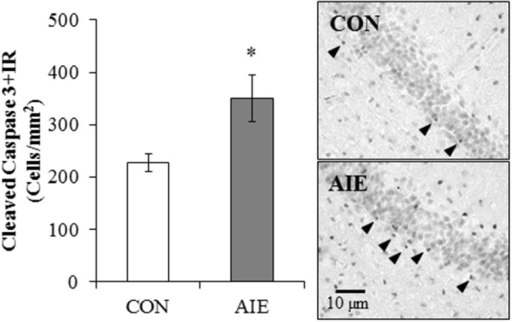 Adolescent intermittent ethanol (AIE) treatment leads to long-term increased cleaved caspase-3 immunoreactive (+IR) expression in the young adult hippocampus. Profile cell counts revealed a 54% (±20%) increase of caspase-3 + IR cells in the hippocampal dentate gyrus of AIE-treated animals on postnatal day 80, relative to controls (CONs). Data are presented as mean ± SEM. *indicates p < 0.05, relative to CON rats. Included are representative photomicrographs of caspase-3 + IR cells in the dentate gyrus of the dorsal hippocampus from CON- and AIE-treated animals. Arrowheads highlight cleaved caspase-3+IR cells.