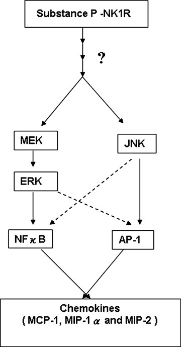 A schematic representation of the signalling cascade that mediates substance P-NK1-R induced chemokine production in pancreatic acinar cells. Substance P (SP) induces activation of MAP kinases ERK and JNK in pancreatic acinar cells. Moreover, substance P-induced phosphorylation of ERK and JNK mediates the activation of transcription factors NFκB and AP-1, thus resulting in increased secretion of pro-inflammatory mediators MCP- 1, MIP-1α and MIP-2 in acinar cells. Substance P-induced ERK1/2, JNK, NFκB, AP-1 activation and chemokine synthesis are depended on NK1R.