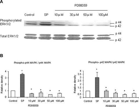 PD98059 dose-dependently decreases phosphorylation of ERK1/2 in pancreatic acini. PD98059 (an inhibitor of MEK1/2) effectively blocked phosphorylation of ERK1/2. Freshly isolated pancreatic acini, obtained from three mice, were pre-incubated with PD98059 at different doses of 10 μM, 30 μM, 50 μM, 100 μM for 1 hr at 37°C followed by stimulation with 1 μM substance P for 45 min at 37°C. Cells were subsequently lysed, and cell proteins were subjected to Western blot analysis using antibodies against (A) phospho-ERK1/2 and total ERK1/2. (B) Densitometric analysis of Western blot experiments from pancreatic acini. The results are representative of three independent experiments. Results shown are the means + SE. * P≤ 0.05 when compared to control, + P≤ 0.05 when compared to substance P (SP).