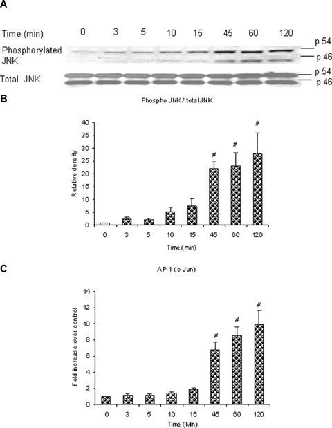 Substance P induces phosphorylation of JNK and AP-1 (c-Jun) activation in a time-dependent manner. Substance P induces a timedependent phosphorylation of JNK which is in line with a timedependent activation of AP-1 (c-Jun). Freshly isolated pancreatic acini, obtained from three mice, were incubated with 1 μM substance P for 0, 3, 5, 10, 15, 45, 60, 120 min at 37°C. In some experiments, cells were lysed, and cell proteins were subjected to Western blot analysis using antibodies against (A) phospho-JNK, total JNK. In another experiment, the nuclear extract was used to isolate AP-1 (c-Jun) and ELISA was carried out to detect activation of (C) AP-1 (c-Jun). (B) Densitometric analysis of Western blot experiments from pancreatic acini. The results are representative of three independent experiments. Results shown are the means + SE. #P ≤0.05 when compared to control (0 min).