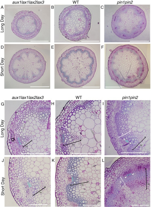 Vascular pattern and xylem differentiation phenotypes in long day and short day conditions for influx aux1lax1lax2lax3 and efflux pin1pin2 mutants.Basal shoot cross section of aux1lax1lax2lax3 (A, D), WT (B, E) and pin1pin2 (C, F) plants grown in long day conditions (A-C) and in short day conditions (D-E). WT and the aux1lax1lax2lax3 plants grown in long day conditions showed no statistical significant differences in number of VBs, total cell number, nor average vascular unit size (S11 Fig, n = 18 for WT, n = 15 for aux1lax1lax2lax3). Scale bars: 500μm. VB detail of aux1lax1lax2lax3 (G, J), WT (H, K) and pin1pin2 (I, L) shoot inflorescence stem grown in long day conditions (G-I) and in short day conditions (J-L). Light blue dots indicate undifferentiated cell layers in procambium tissue between phloem and xylem differentiated cells. First differentiated xylem cell is indicated by white arrow. White brackets highlight the interfascicular fiber cells (if). Black brackets highlight the xylem cells (xy). Scale bars: 200 μm. Frequency distribution of the number of undifferentiated cell layers in long day conditions for the three genotypes is shown in S11 Fig.