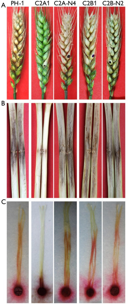 Infection assays with the cdc2A and cdc2B mutants.(A) Flowering wheat heads were drop-inoculated with conidia of the wild type (PH-1), the cdc2A and cdc2B mutants (C2A1 and C2B1), and corresponding complemented transformants (C2A-N4 and C2B-N2). Black dots mark the inoculated spikelets. Photographs were taken 14 days post-inoculation (dpi). (B) Eight-week-old corn stalks were punctured with toothpicks dipped in conidia suspensions of the same set of strains. Photographs were taken 14 dpi. (C) Corn silks were inoculated with culture blocks of the same set of strains and examined 6 dpi.