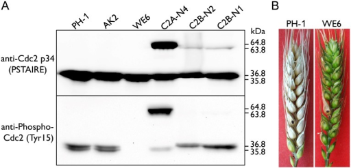 Assays for inhibitory phosphorylation of Cdc2A and Cdc2B and defects of the Fgwee1 deletion mutants in plant infection.(A) Total proteins were isolated from the wild-type (PH-1), CDC2A-GFP (C2A-N4) and CDC2B-GFP (C2B-N1 and C2B-N2) transformants, and the Fgcak1 (AK2) and Fgwee1 (WE6) deletion mutants. The Cdc2A, Cdc2B, Cdc2A-GFP and Cdc2B-GFP proteins were detected with the Cdc2 p34 (PSTAIRE) antibody. The phosphorylation of them at tyrosine 15 was detected with the Phospho-Cdc2 (Tyr15) antibody. The band of Cdc2A (36.8 kDa), Cdc2B (35.8 kDa), Cdc2A-GFP (64.8 kDa) and Cdc2B-GFP (63.8 kDa) is indicated. (B) Flowering wheat heads inoculated with the wild type (PH-1) and Fgwee1 mutant (WE6). Disease symptoms were examined 14 dpi.