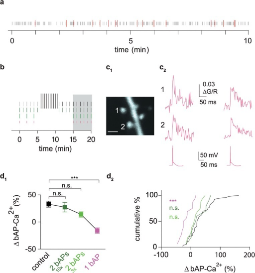 bAP-Ca2+ transient enhancement depends on neuronal output.(a) Raster plot of a 10 min in vivo extracellular recording from a freely moving p19 rat in layer 2 of the MEC. Grey bars correspond to single spikes. AP doublets with frequencies >100 Hz are indicated in red. (b) Diagram of experimental timelines. Grey and black vertical bars correspond to test stimulus doublets (short bars) and the ten 5 AP bursts administered after baseline (long bars). Dark green vertical bars depict doublet test stimuli delivered every 60 s. A 6 min baseline measurement was followed by a stimulus-free interval of 5 min. We then again measured the bAP-Ca2+ transients evoked by the doublet test stimulus. Light green bars correspond to three doublet test stimuli delivered at an interval of 120s and followed by a 10 min stimulus-free interval. After that, six doublets were measured at a 60 s interval. Shorter pink horizontal bars correspond to singlets. For baseline measurements, three singlet test stimuli were delivered at an interval of 120 s and followed by a 10 min stimulus-free interval. After that, six singlets were measured at a 60 s interval. Interval used for normalized post/pre ratios of bAP-Ca2+ transient enhancement is shaded in grey. (c1) Z-projection of the imaged dendritic segment (scale bar corresponds to 1 μm). (c2) Singlet evoked averaged bAP-Ca2+ transients from two neighbouring spines (top and middle). Bottom trace refers to representative underlying APs. (d1) Plot of normalized bAP-Ca2+ transient enhancement 15 to 20 min after bAP stimulation onset in spines with baseline ∆G/R <0.041. In the singlet experiments, the doublet response was measured at 20 min to permit grouping for comparison with the other doublet responses. bAP-Ca2+ transient enhancement in the control group (black, n = 53/31 spines/cells) is significantly larger than in the spine group where singlets were applied (-16.5%, n = 16/11 spines/cells, magenta, p < 0.001, Kruskal Wallis Test with Dunn's posthoc comparison). Reduced enhancement upon application of doublets when 5 AP bursts were omitted (27 ± 8%, n = 10/6 spines/cells, dark green) and doublet number further reduced (14 ± 5%, n = 16/12 spines cells, light green). Both conditions were not significantly different from controls (n.s., Kruskal Wallis Test with Dunn's posthoc comparison). (d2) Cumulative distribution plot of normalized bAP-Ca2+ transient enhancement. Dataset corresponds to d1. Data are expressed as mean SEM *** P < 0.001.