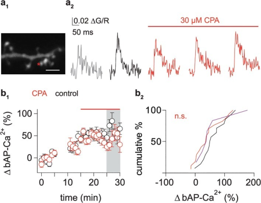 Stores play a role in induction but not in expression of bAP-Ca2+ transient enhancement.(a1) Z-projection of the imaged dendritic segment (scale bar corresponds to 2 μm). Asterisk marks imaged spine. (a2) Averaged traces of spine bAP-Ca2+ transients: baseline (grey, 0 to 5 min after onset of the experiment), pre-CPA wash-in (black, 10 to 15 min after onset), and post-CPA wash-in (red, 16 to 20, 21 to 25 and 26 to 30 min after the onset of the experiment). Red line indicates wash-in of 30 μM CPA. (b1) Time plot of preselected enhanced spines (enhancement >20% between 15 and 20 min after starting the experiment) comparing controls (black) and spines with CPA wash-in (red) 15 min after the onset of the experiment. Interval used for comparison between control spines and spines where CPA was washed in is shaded in grey. (b2) Cumulative distribution plot of normalized bAP-Ca2+ transient enhancement in time-matched controls and 10 min after CPA and combined CPA and ryanodine wash-in in spines (corresponds to grey area in b1). Control spine enhancement (black, +63 ± 11%, n = 14/10 spines/cells) is not significantly different from spines treated with 30 μM CPA alone (red, +42 ± 11%, n = 17/13 spines/cells, p = 0.07, one-tailed Mann Whitney U test). Combined treatment with CPA and ryanodine was tested in a small population of spines (+57 ± 23%, n = 6/3 spines/cells, magenta). Data are expressed as mean SEM.