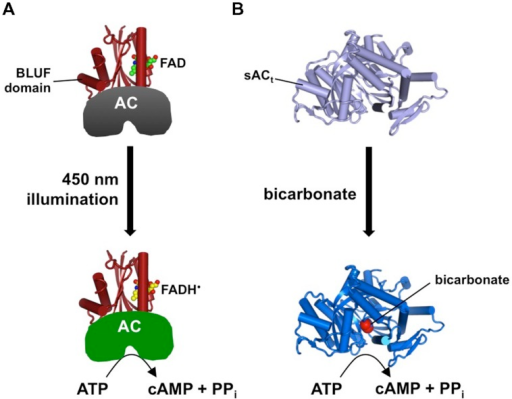 Tools for triggering cAMP elevation. (A) Illustration of Beggiatoa PAC (bPAC) demonstrating how light illumination of the BLUF domain is coupled to activation of AC activity. (B) A truncated version of soluble AC (sACt) responds to elevated bicarbonate by catalyzing cAMP synthesis.