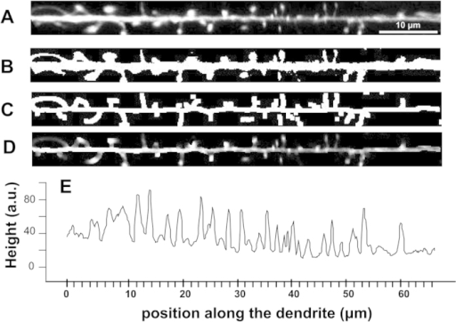"Algorithm to derive the profile plot of dendrites, which is then used to calculate the sample entropy of dendritic spines.(A) Using fluorescent images, individual dendrites are first selected and then straightened using the 'straight' tool of the ImageJ program. (B) The images are converted in B/W masks using the 'Auto local threshold' tool (parameters: method 'mean', radius 40). (C) The masks are then skeletonized in order to identify the main dendritic stem and the point of emergence of the spines. (D) This mask is then used to cut all the background on the original image, using an operation ""AND"" between the original image and the skeletonized one. (E) Finally, the resulting image is analyzed using the profile plot tool, thereby quantifying the position of each spine along the dendrite. The sample entropy of this profile (data sequence) is then calculated using a custom script in R environment (see Supplementary Methods)."